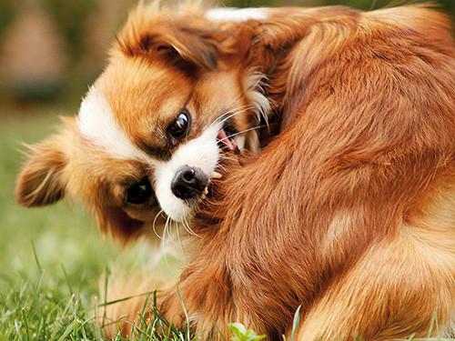 Hund-juckt-sich