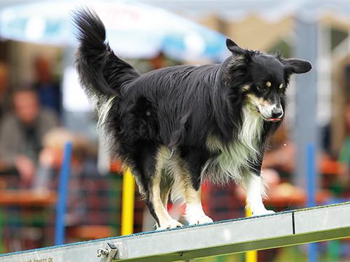 Hund-auf-Wippe