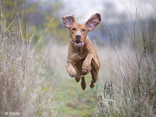Hund_jagd_springt
