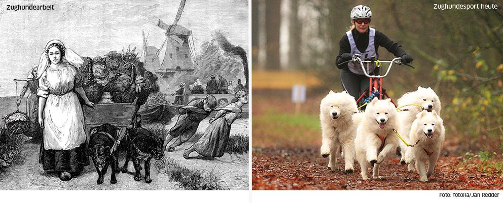 Zughundearbeit und Zughundesport