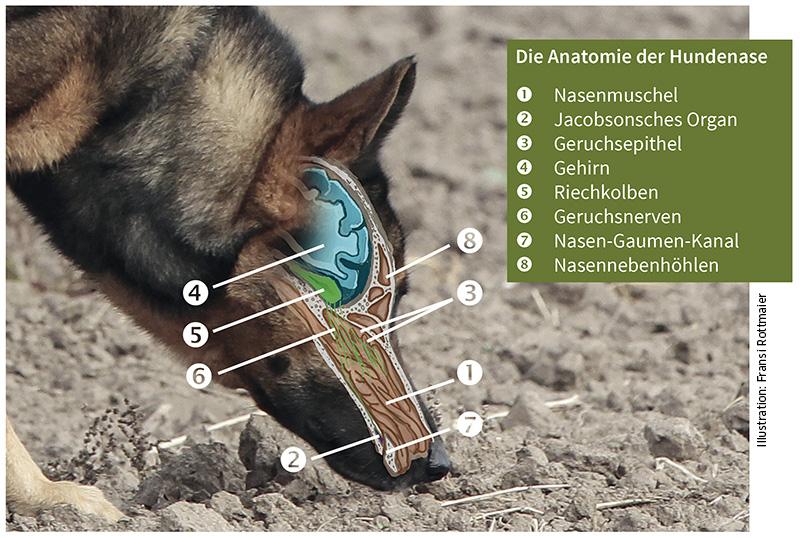 Anatomie der Hundenase