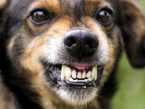 Corona-Sp-rhund