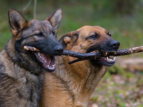 Zwei-Hunde-und-ein-Stock