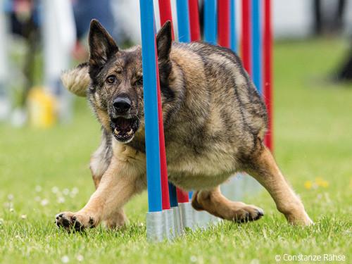 Hund-im-Slalom
