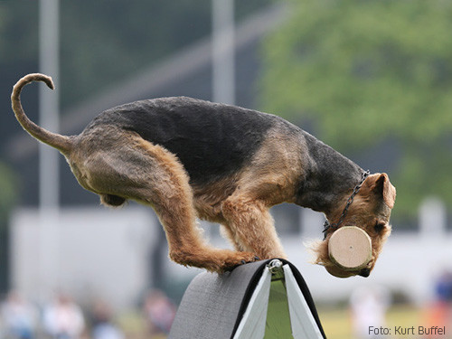 Airedale-apportiert
